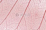 叶子纹路图片
