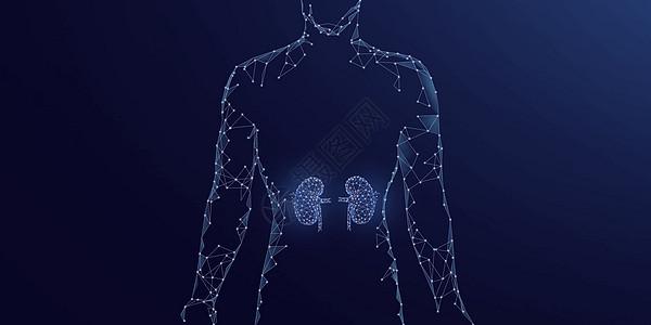 人体器官肾脏图片