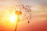 夕阳下的蒲公英图片