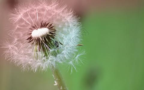 夕阳下蒲公英图片