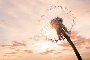 黄昏下的蒲公英图片