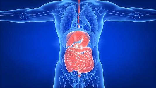 人体肝脏肠道图片
