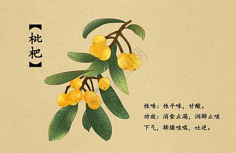 中草药枇杷插画图片