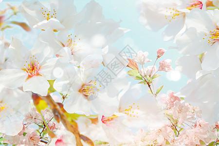 浪漫樱花图片