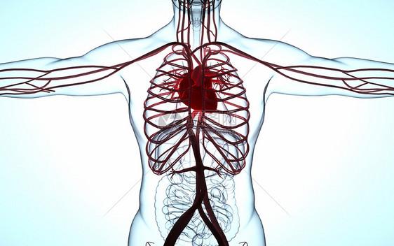 人体心脏模型图片