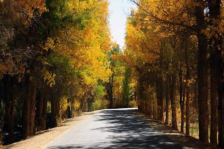 路旁的胡杨林图片