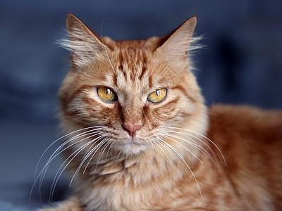 黄色虎斑纹的猫咪图片
