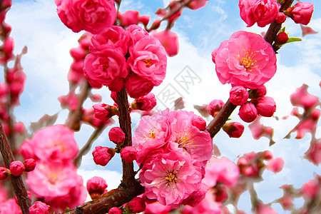 春天红色桃花绽放图片