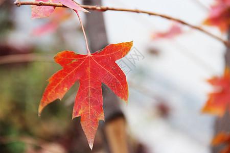 枫叶红叶图片