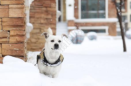 帅气的雪地里的白狗狗图片