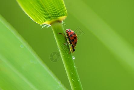 春天瓢虫图片