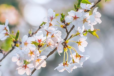洁白的樱花图片