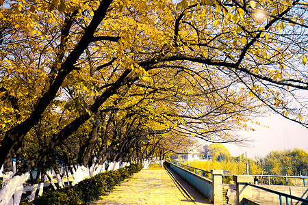 华科的秋天图片