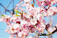 盛开的桃花图片
