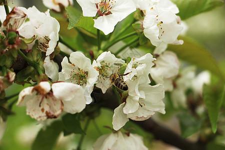 白鹿原樱桃花图片