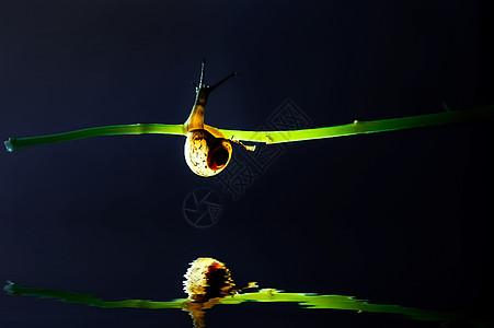蜗牛在枝头的倒影图片