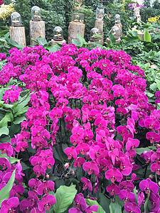 盛开的蝴蝶兰花展图片