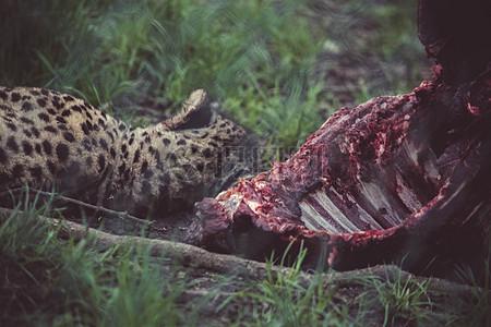 被扑杀撕咬的动物残肢图片