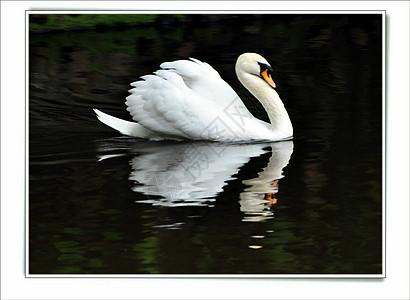 慈湖中的天鹅图片