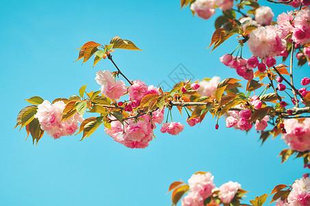 粉色梅花图片