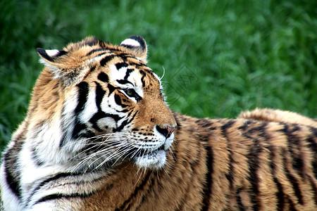 虎!最大的猫科动物图片