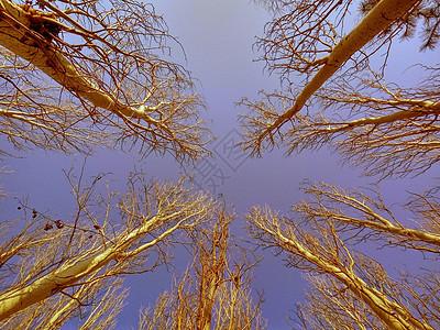 冬季的白杨树图片