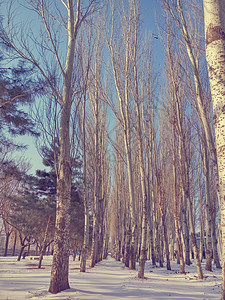 冬季的白杨图片