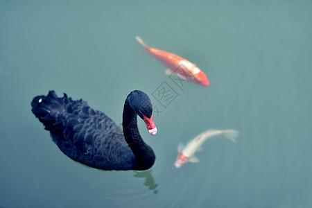 金鱼与黑天鹅图片