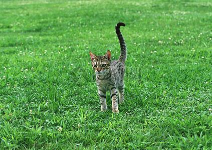 一只猫在草地上玩耍图片