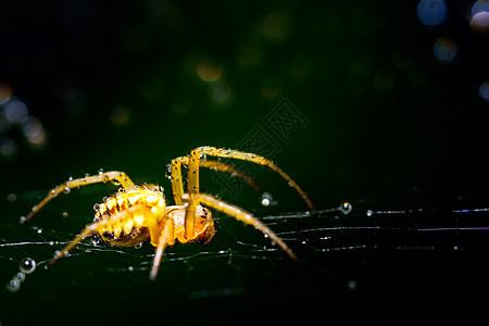 琥珀色的蜘蛛图片