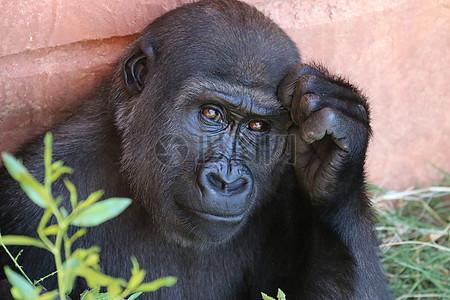 摸着头的黑猩猩图片