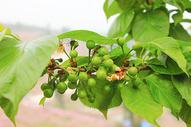 龙泉樱桃摄影图片