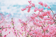 龙泉桃花摄影图片