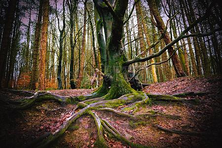 树林里粗壮的树木根部图片