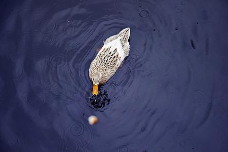 野鸭子图片