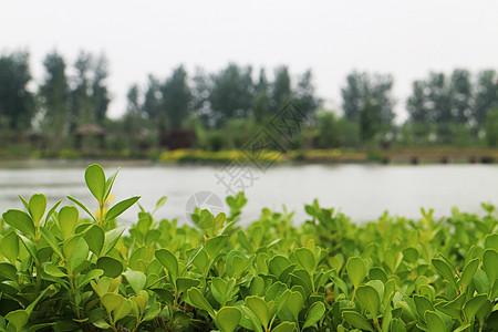 湖边的绿草绿叶图片