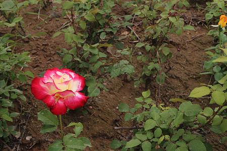 泥土里的花朵图片