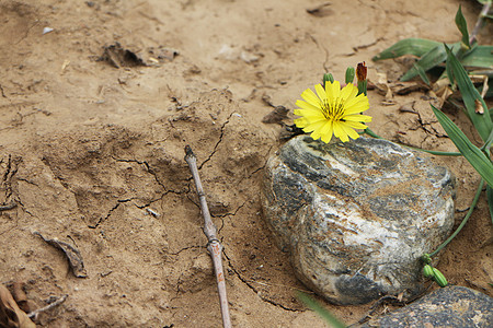 石头上的小黄花图片