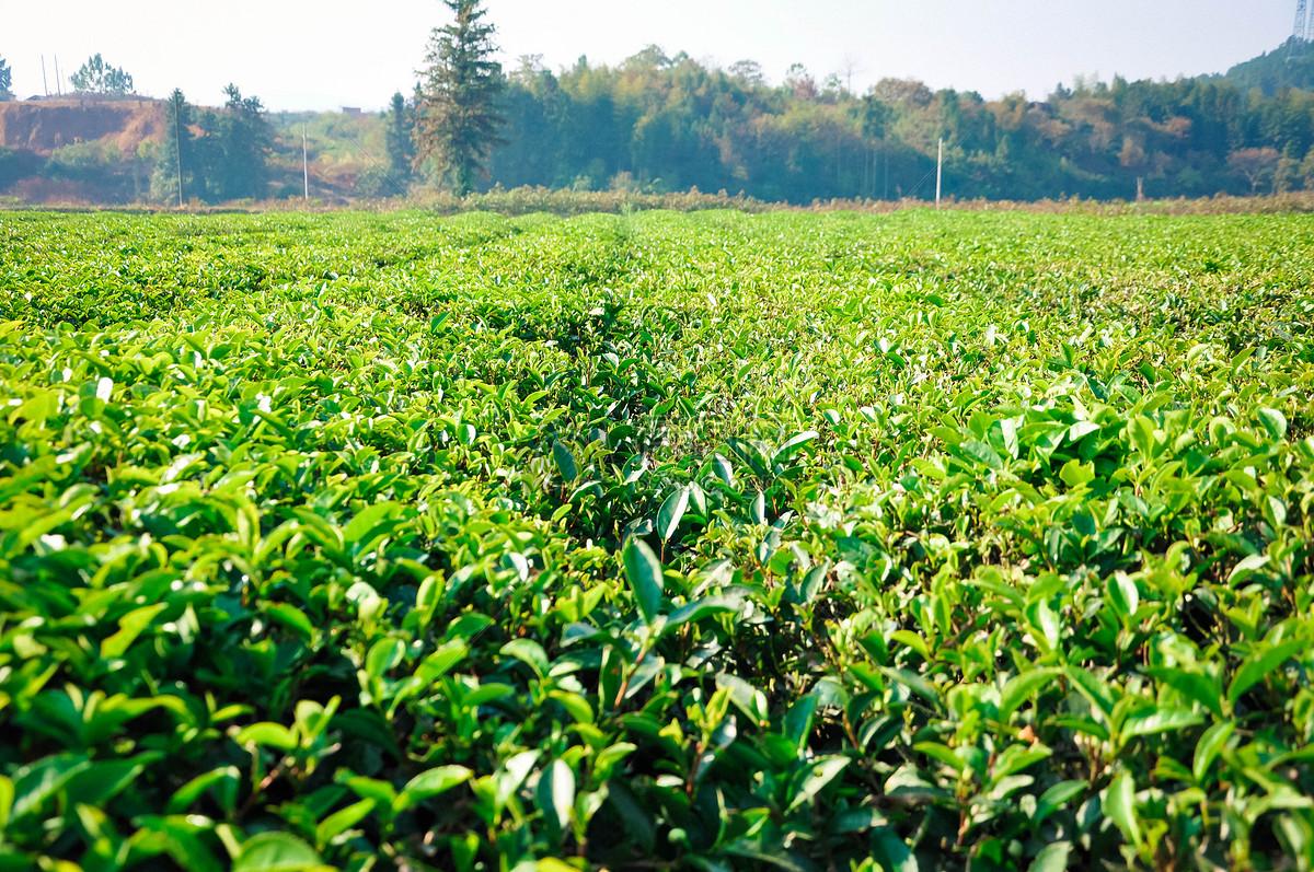 白茶的作用与功效_功效和作用