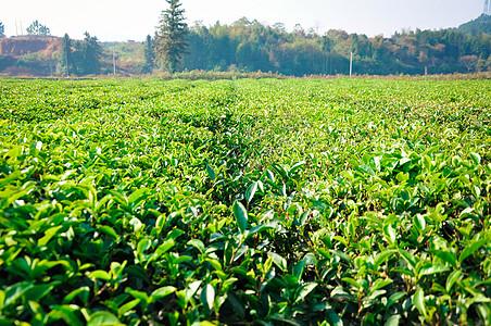 大片茶叶树绿茶图片