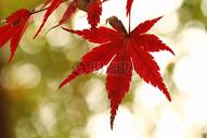 红色枫叶图片