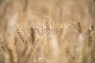 黄油油的小麦图片