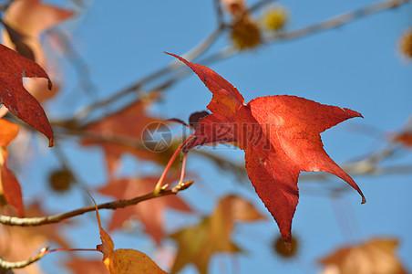 蓝天下的枫树叶图片