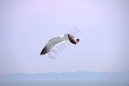 黄昏下的海鸥图片