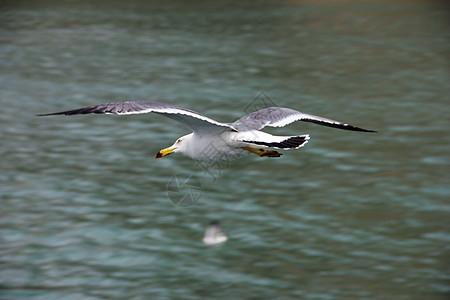 飞翔中的海鸥图片