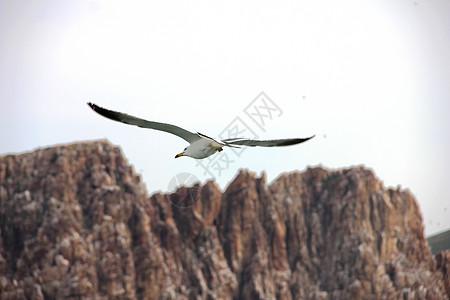 展翅飞翔的海鸥图片