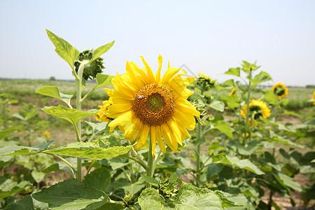 向日葵 黄色 阳光下的向日葵 小花 大花 郊外 风景 田园图片