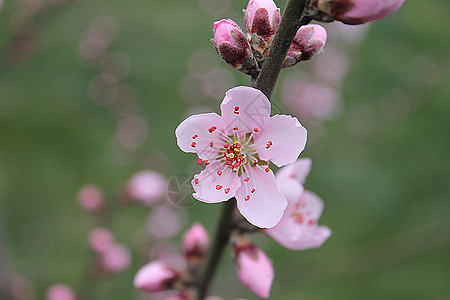 粉色小花 桃花图片