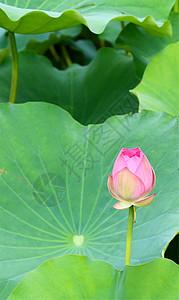 荷花花苞图片