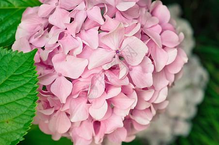 粉色绣球花特写高清图片